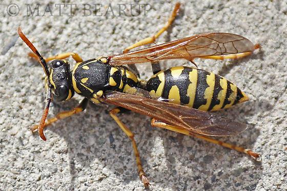 Paper Wasp Queen Identification