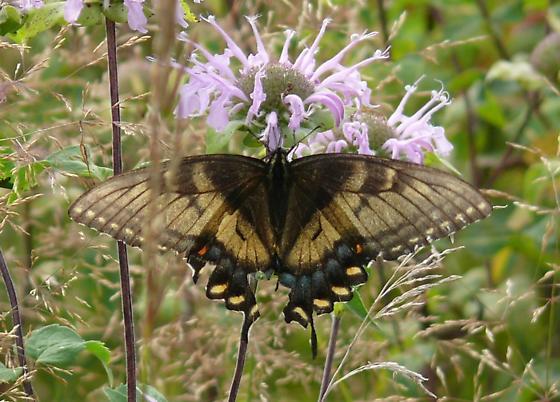 Intermediate dark female - Papilio glaucus - female