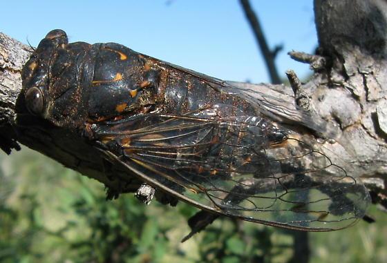 Sept Cicada - Hadoa parallela