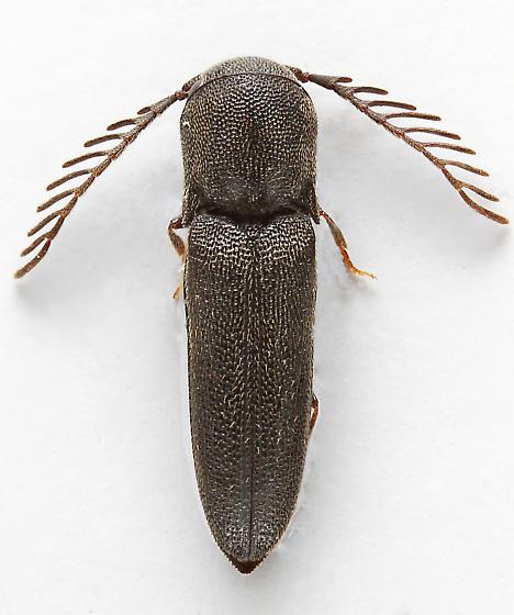 False Click Beetle - Adelothyreus dejeani