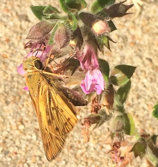 Flowers 2 - Hylephila phyleus