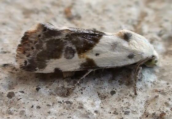Noctuidae: Ponometia candefacta - Ponometia candefacta