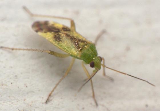 Unknown True Bug - Reuteroscopus