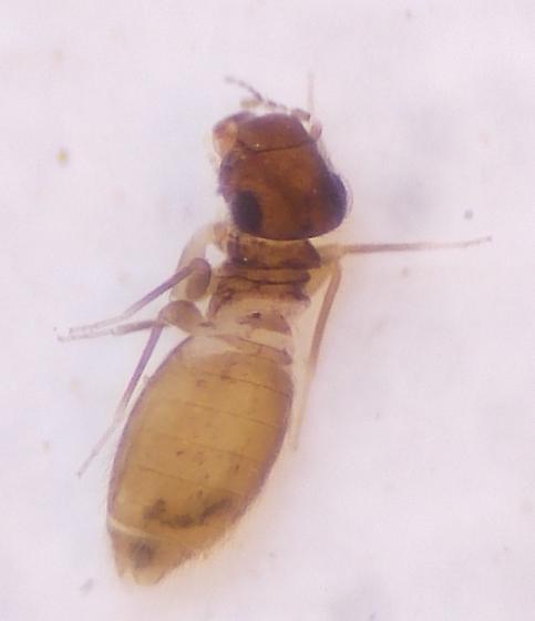 Louse - Lepinotus reticulatus