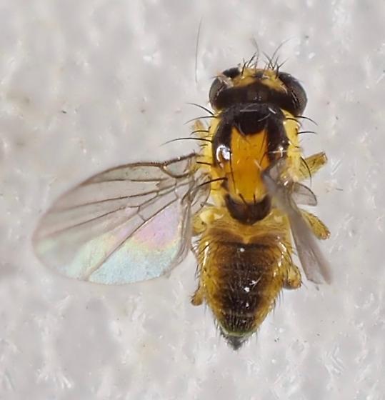 Unknown Fly - Liriomyza blechi