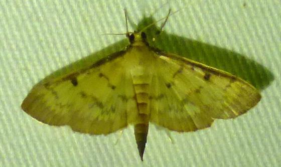 Herpetogramma fluctuosalis - Greater Sweet Potato Webworm Moth  - Herpetogramma fluctuosalis
