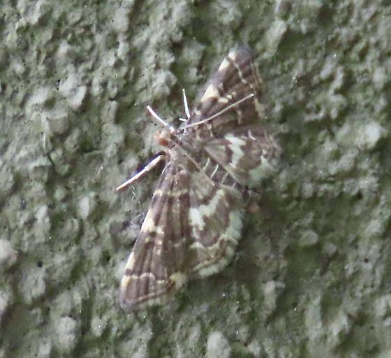 small moth - Anageshna primordialis