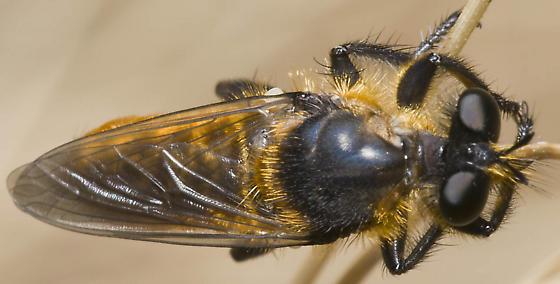 Robber fly? - Laphria asackeni - male