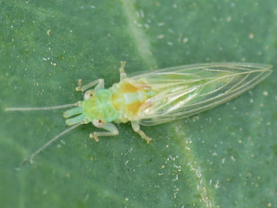 red gum lerp psyllid adult - Glycaspis brimblecombei