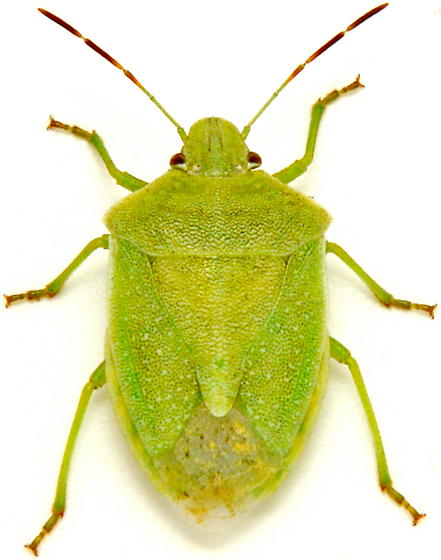 Thyanta custator - male