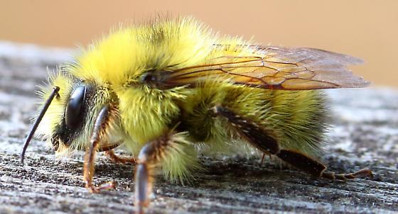 Yellow Bumble Bee - Bombus - male