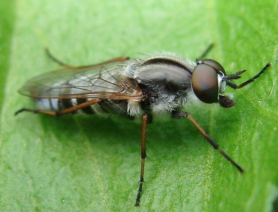 Ozodiceromyia notata? - Ozodiceromyia