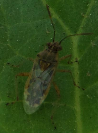 False Chinch Bug? - Brachycarenus tigrinus