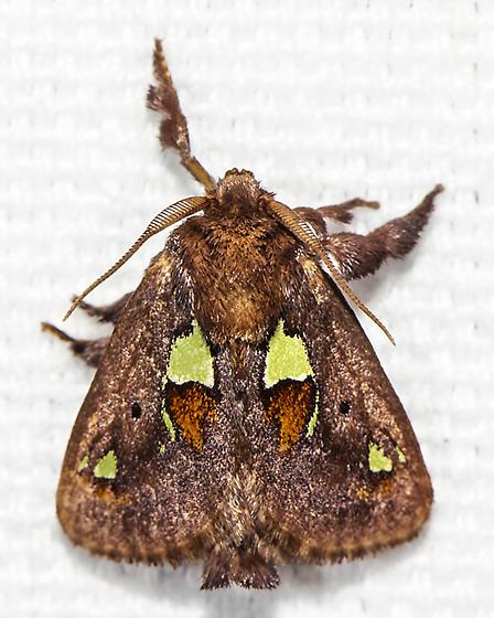 Spiny Oak-slug Moth - Euclea delphinii