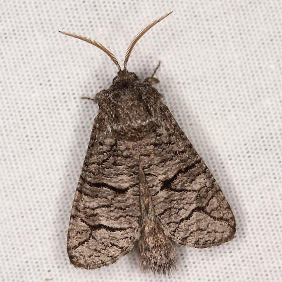 Moth - Toronia perplexa