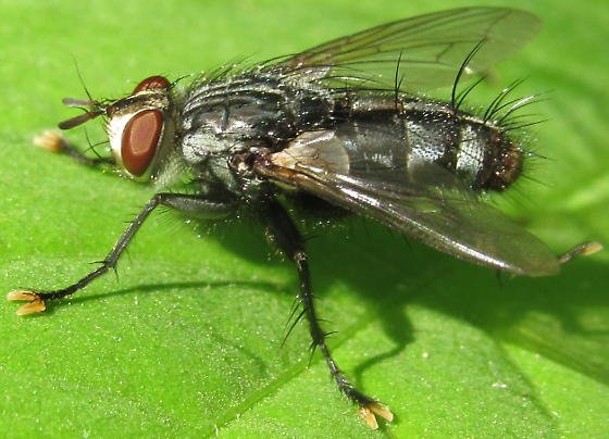 Large Fly - male
