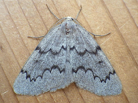 Geometridae: Nepytia canosaria - Nepytia pellucidaria - male