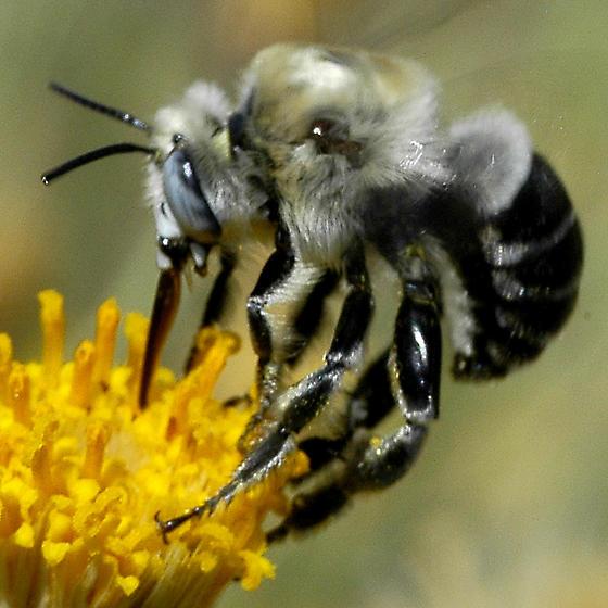 Apidae, Anthophorini - Anthophora centriformis - male