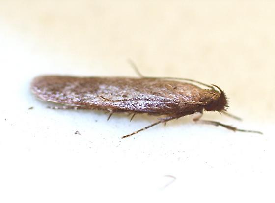 Unknown Moth - Gelechia albisparsella