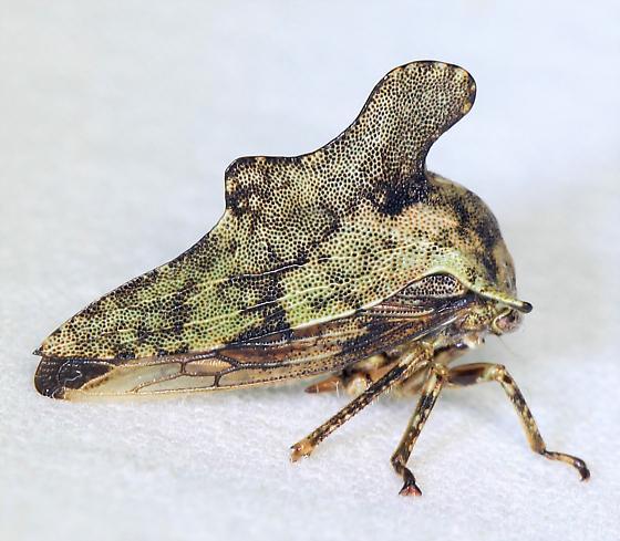 Treehopper - Telamona? - Heliria cristata
