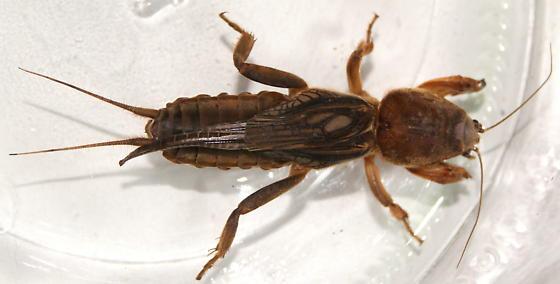 Mole cricket? - Neocurtilla hexadactyla - female