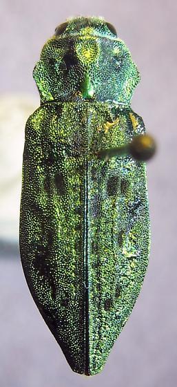 Buprestidae -Trachykele sp. - Trachykele blondeli