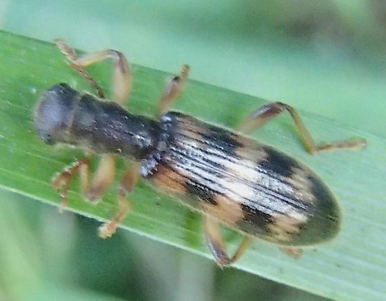 Unknown Insect - Cymatodera undulata