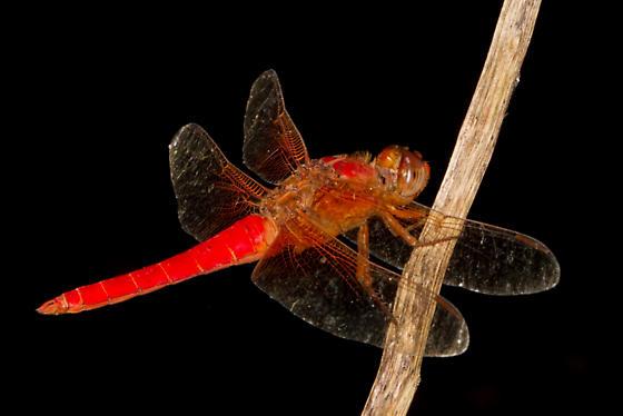 Neon Skimmer - Libellula croceipennis - Libellula croceipennis - male