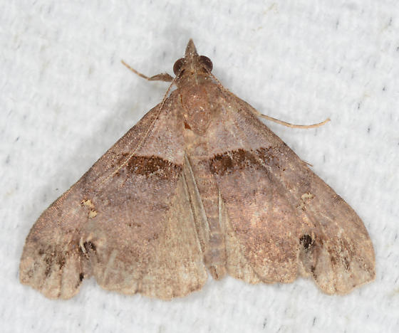an ugly Lascoria ambigualis - Lascoria ambigualis