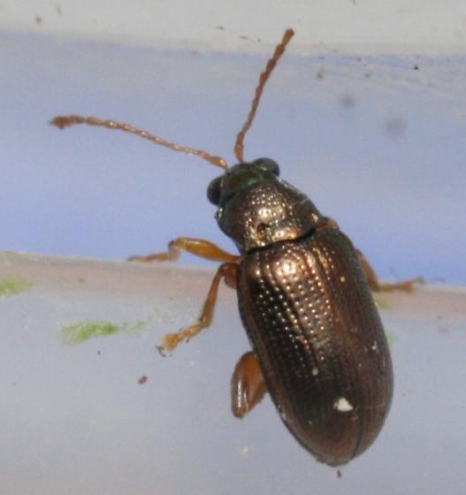 Willow Flea Beetle - Crepidodera aereola