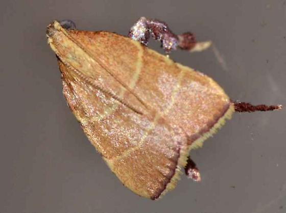 Moth - Parachma ochracealis