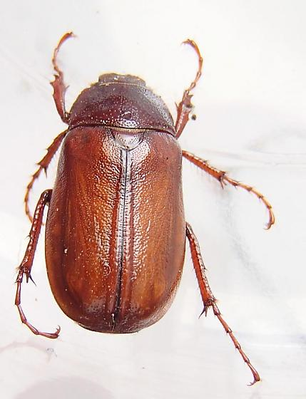May Beetle - Phyllophaga vilifrons - male