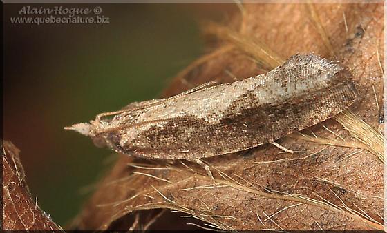 Moth sp - Epinotia lindana