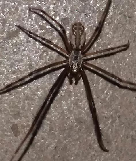 Diguetidae  - Diguetia - male