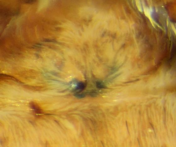 Emblyna roscida--voucher image - Emblyna roscida - female