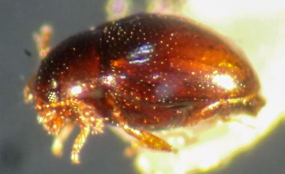 Tiny beetle - Phalacridae? - Ephistemus globulus