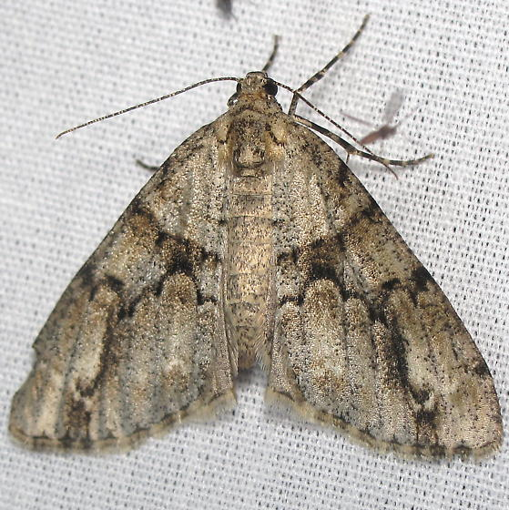 Another Unid. Moth - Vinemina opacaria - female