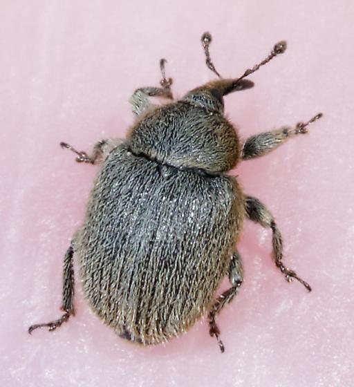 tiny weevil - Rhinusa tetra