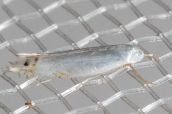 CottonwoodLeafminerMoth? - Paraleucoptera albella