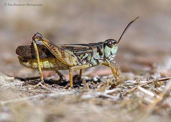 Grasshopper ID - Camnula pellucida - male
