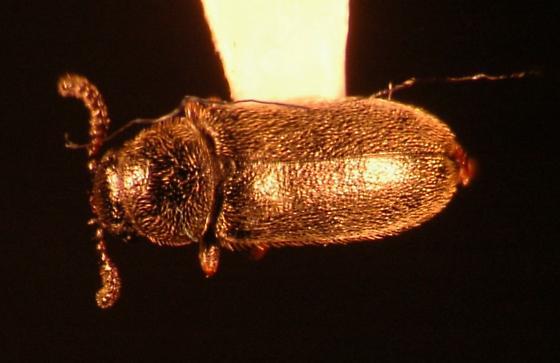 Small flower beetle