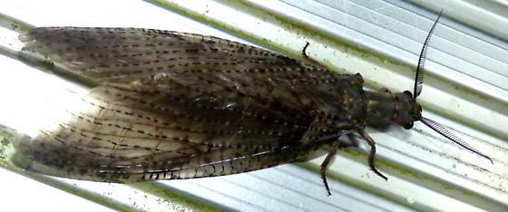 8/16/2020 fishfly - Chauliodes pectinicornis