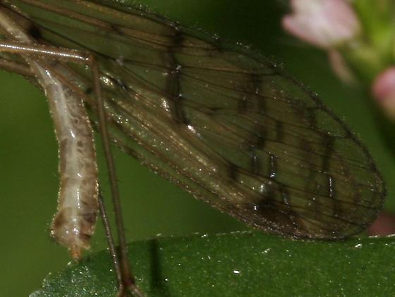 Hangingfly _MG_4670 - Bittacus strigosus