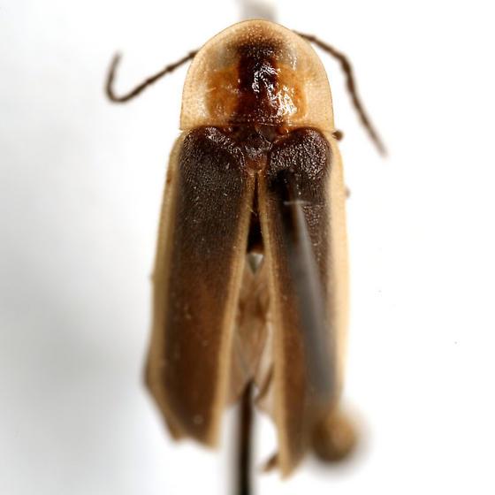 Photinus consanguineus COMPLEX - Photinus consanguineus - male