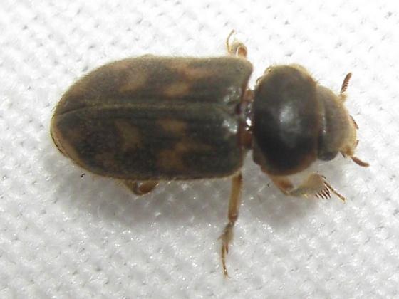 Heterocerus - Heterocerus mollinus