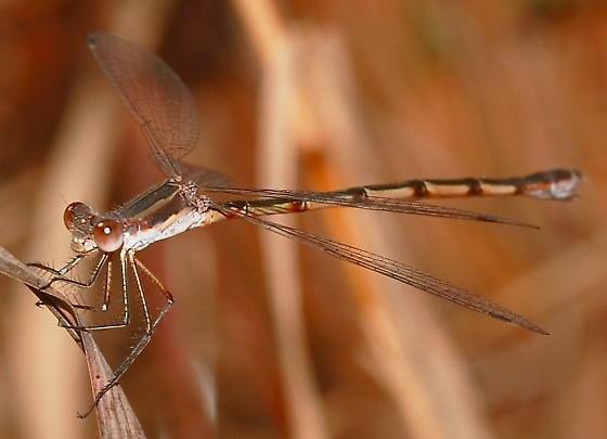 Damselfly - Lestes australis - female
