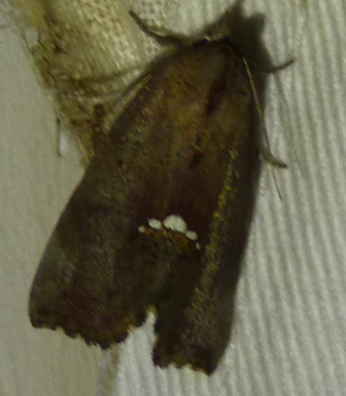 Hypsoropha hormos - Small Necklace Moth - Hypsoropha hormos