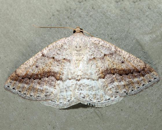 Pale Alder - Tacparia detersata