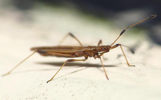 Skinny Bug - Berytinus minor