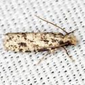 Clothes Moth  - Amydria effrentella
